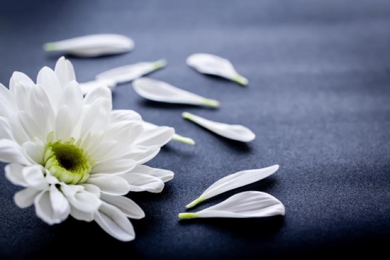 花びらが散った白い菊