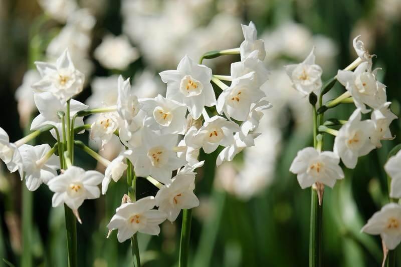 満開の白い水仙
