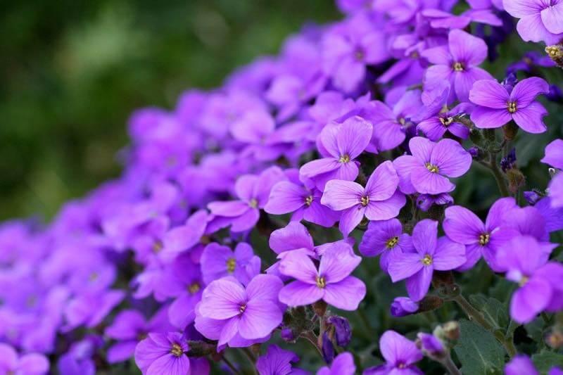 密集して咲く紫色のすみれ