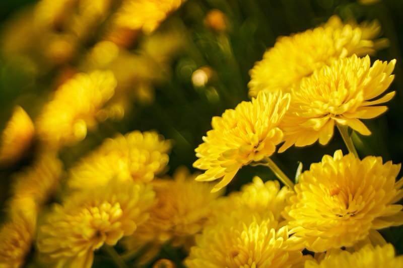 美しく咲き誇る黄色い菊